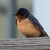 Barn Swallow at Reeds Beach on Thursday morning