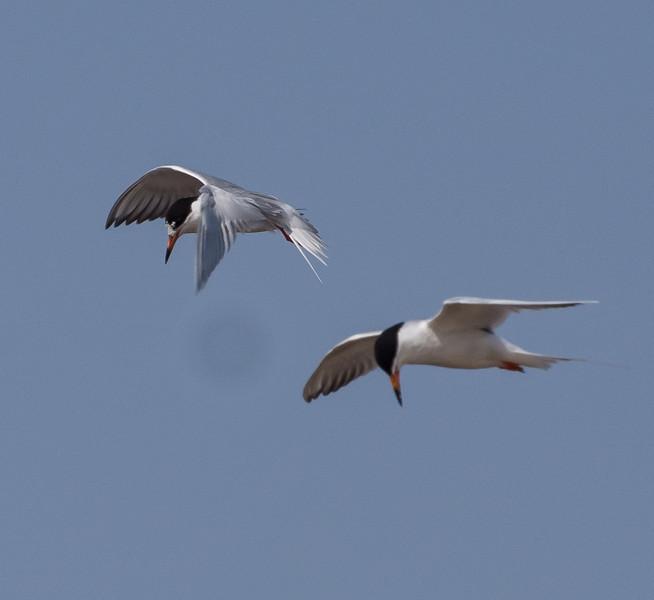 Foster's Terns