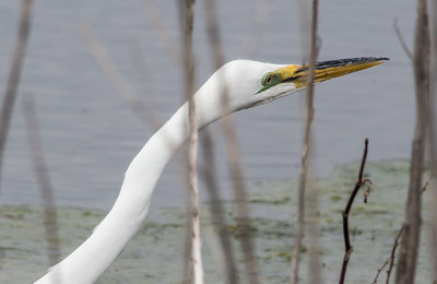 A Great Egret at Bunker Pond.