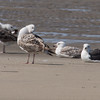 Immature and adult Great Black-backed Gulls