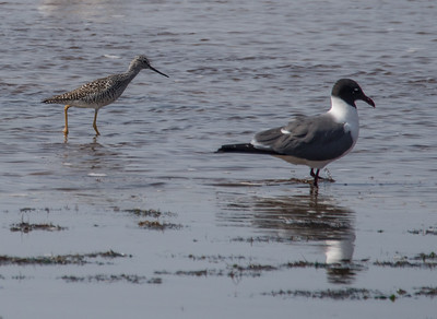 Greater Yellowlegs and Laughing Gull.
