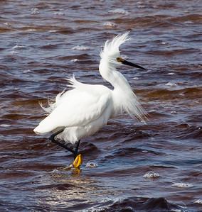 "Snowy Egret ""Bad hair day"""