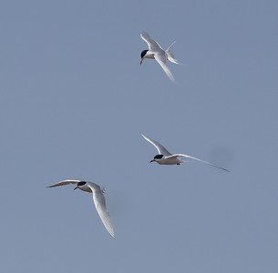 Foster's Terns