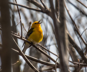 Prothonatory Warbler at the Beanery