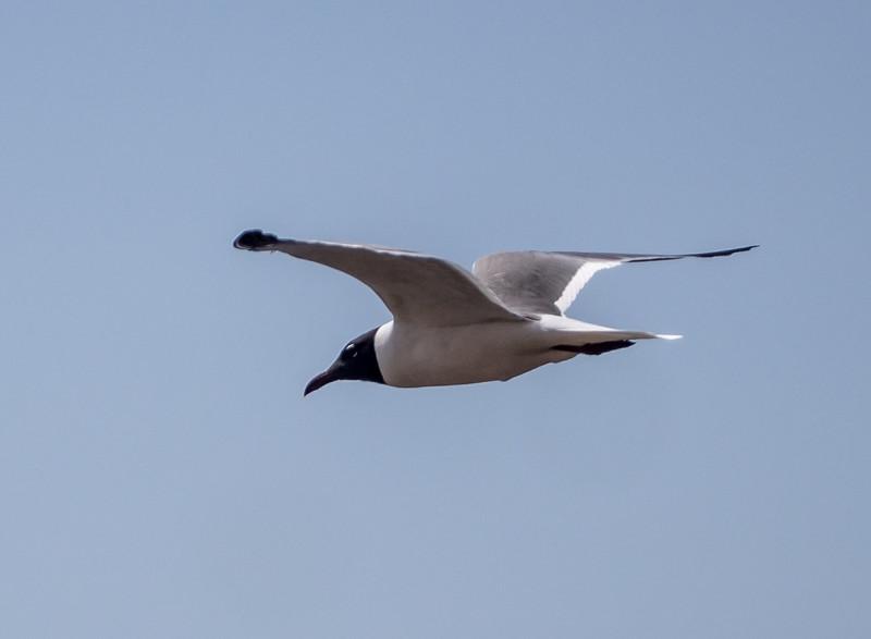 Laughing Gull in flight.