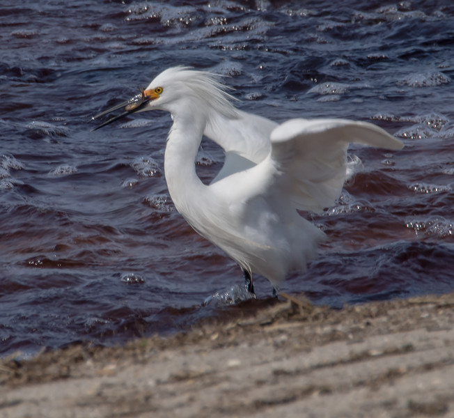 Windblown Snowy Egret with a mouthful!