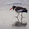 An American Oystercatcher on the beach in the early morning.