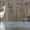 Snowy Egret and Greater Yellowlegs