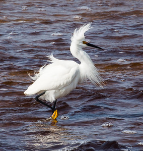 "Snowy Egret ""Bad hair day"""