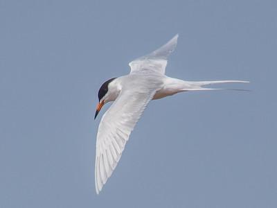 Foster's Tern