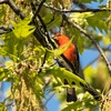 Scarlet Tanager, Central Park
