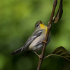 Northern Parula, Central Park