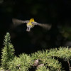 Black-throated Green Warbler, Central Park