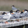 Lineup of Foster's Terns, Cape May Lighthouse SP