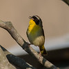 Common Yellowthroat on morning walk