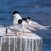 Foster's Terns and a Roseate Tern, Cape May Lighthouse SP