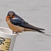 Barn Swallow, South Cape May Meadows