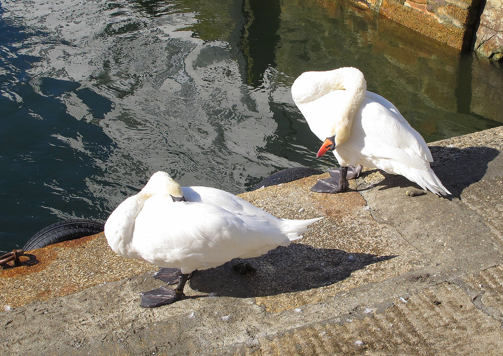 Two swans, already looking lethargic in the warm sunshine.