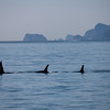 Orcas in Resurrection Bay.