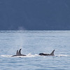 A pod of orcas in Resurrection Bay.