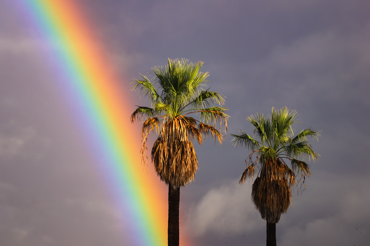 Pot of Gold Palm