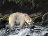 Spirit bear hunting for salmon in a stream, Princess Royal Island, BC
