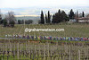 The naked vines of Chianti surround the Strade Bianche peloton...