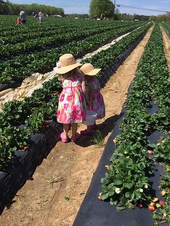 Strawberry Picking April 2017