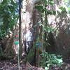 Terminalia oblonga or Guayaba de montana