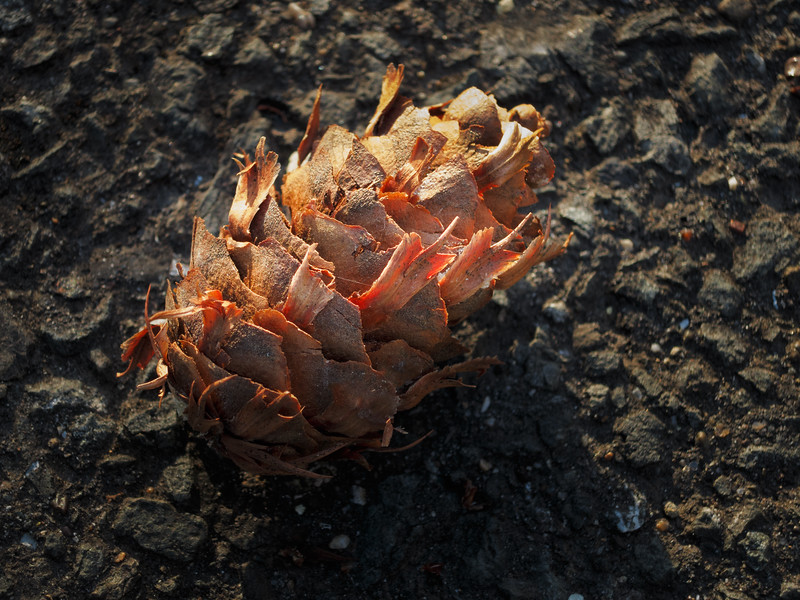Pine cone. (Photograph by Shalimar)