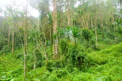 UG 197 Forest