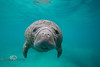 Face to Face with a Manatee - Photo by Pat Bonish
