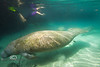 Large Manatee swimming past a snorkeler - Crystal River Florida - Photo by Pat Bonish