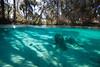 3 Sisters Spring - Split Shot - Crystal River Florida - Photo by Pat Bonish