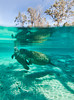 Coming up for Air - Baby Manatee with Mother - Crystal River Florida - Photo by Pat Bonish