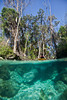 Manatee swimming under a Kayaker in 3 Sisters Spring, Crystal River Florida - Photo by Pat Bonish