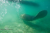 Manatee swimming under our boat - Crystal River Florida - Photo by Pat Bonish