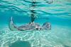 Close up of Stingray - Caymen Islands - Photo by Pat Bonish