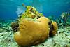 Brain Coral - Mahagony Bary, Roatan - Photo by Pat Bonish
