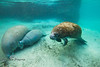 Nursing Calf with a two adult Manatee - Crystal River Florida - Photo by Pat Bonish