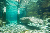 Manatee Swimming into 3 Sisters Spring in Crystal River Florida - Photo by Pat Bonish