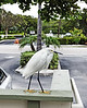 "This snowy egret has been affectingly named ""Elvis"" and these 6 pictures show his morning breakfast routine.  <br /> Here he is waiting for his friend to arrive in this photo.."