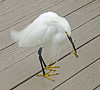 "This snowy egret has been affectingly named ""Elvis"" and these 6 pictures show his morning breakfast routine.  <br /> Yum!, I'm really hungry."