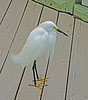 "This snowy egret has been affectingly named ""Elvis"" and these 6 pictures show his morning breakfast routine.  <br /> Now that I've had a good breakfast it's time for a short rest."