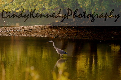 South End-Blue Heron
