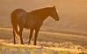 Stallion at sunrise, Sand Wash Basin CO (11)