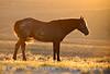 Stallion at sunrise, Sand Wash Basin CO (14)