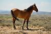 Hurricane, band stallion, Sand Wash Basin CO (9)