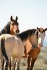Hurricane, band stallion, Sand Wash Basin CO (7)