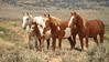 Pinyon colt, Juniper and (1)